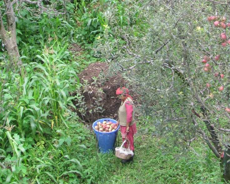 Local picking apples in Old manali